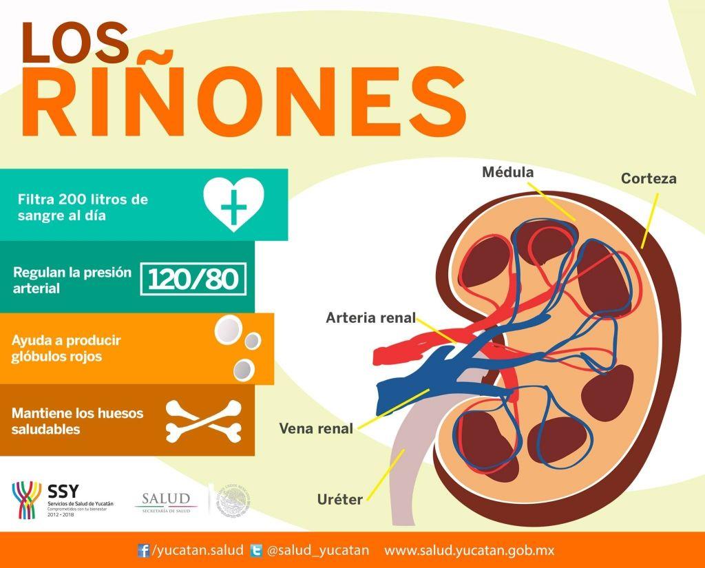 Infografia: Algunos tips sobre la función de los riñones en el ...