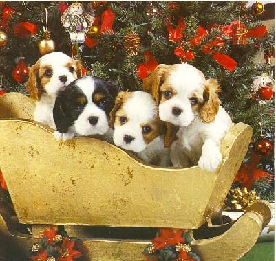 #Christmas #pets #Cavalier #King #Charles #gifts