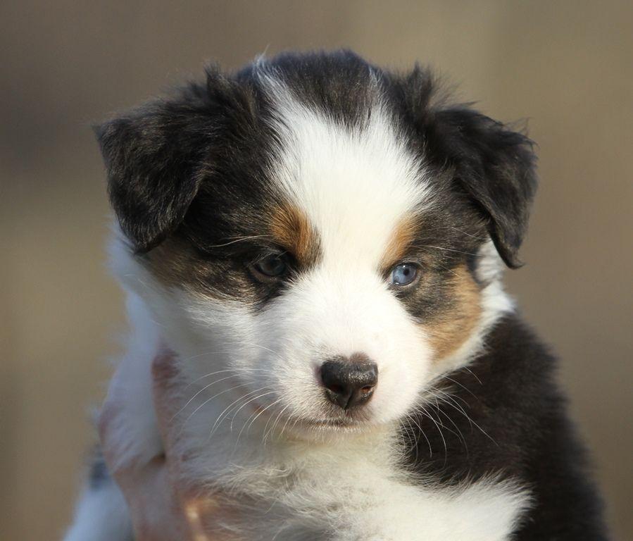 Aussie puppy so cute makes me want a puppy aussie