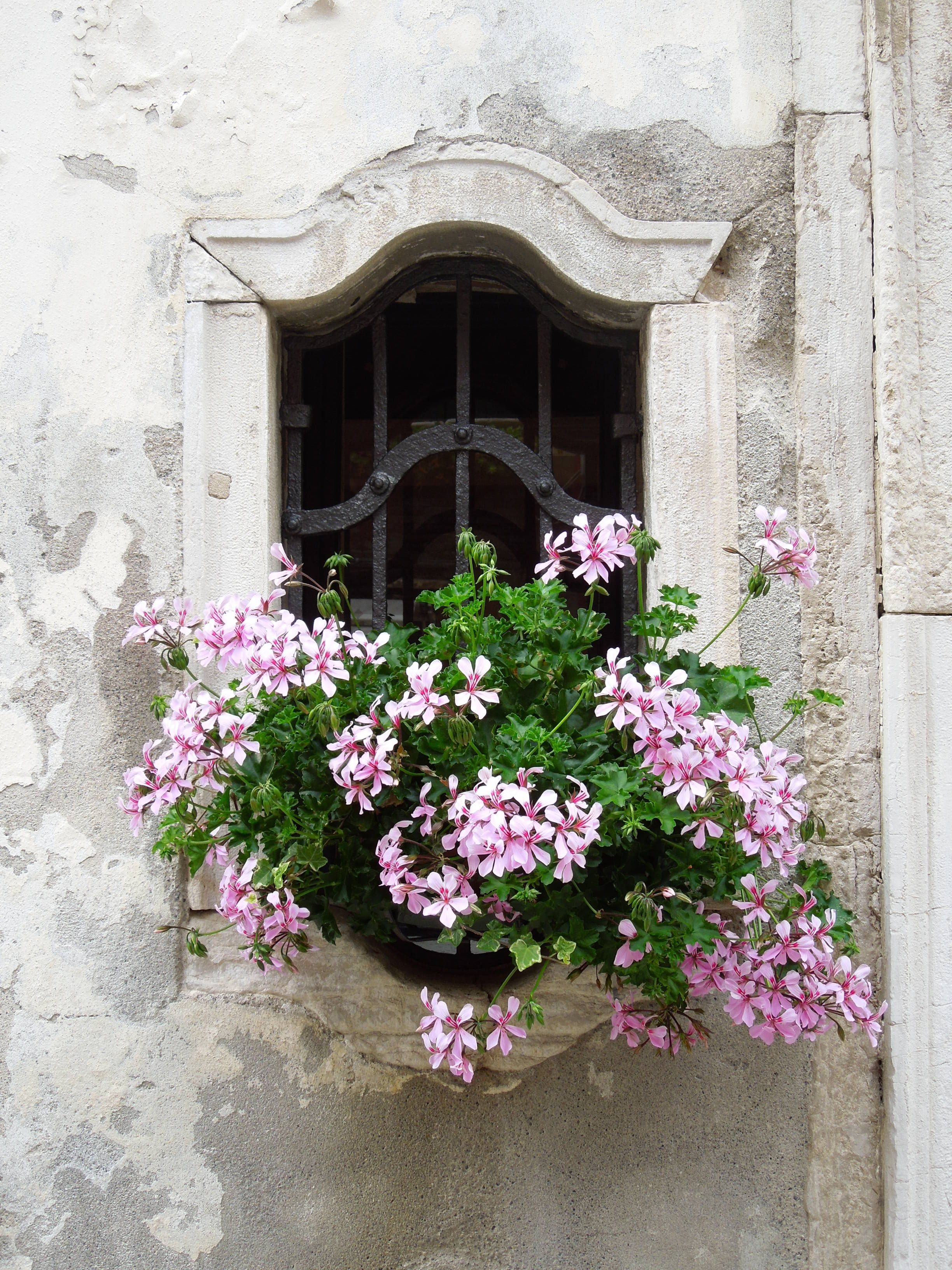 Ampel geranium is an excellent option for decorating windows and balconies
