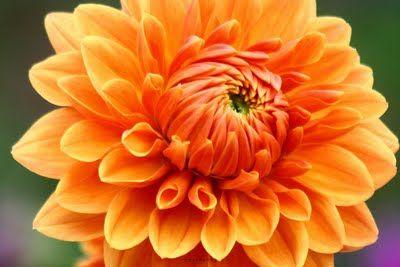 Orange Dahlia Flower Photos Dahlia Flower Flowers