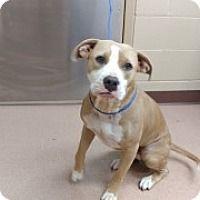 Bryan Tx American Pit Bull Terrier Mix Meet A Puppy For