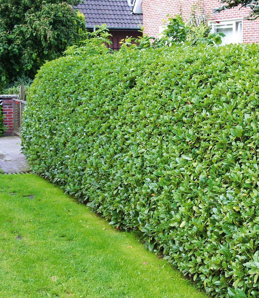 30 St Kirschlorbeer Otto Luycken  Heckenpflanze immergrün Prunus  Hecke im Top