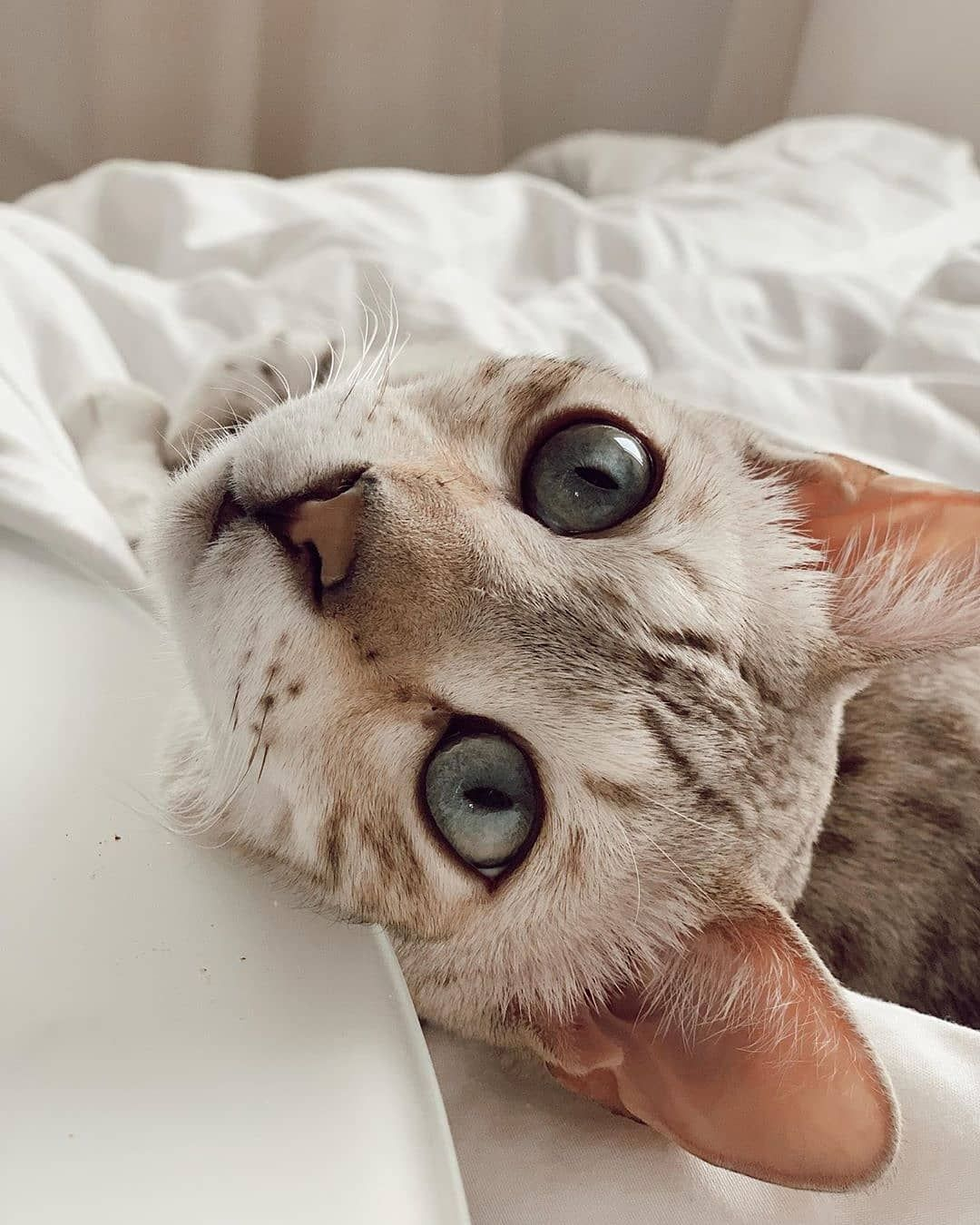 15 Brilliant Facts You Didn't Know About Bengal Cats (с