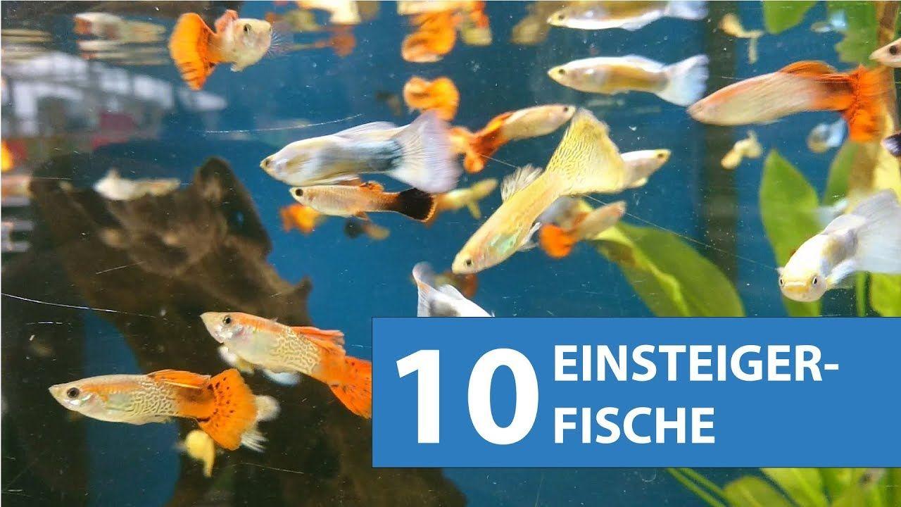 10 Aquarium Fische Fur Anfanger In 2020 Aquarium Fische Aquarium Fur Anfanger Aquarium