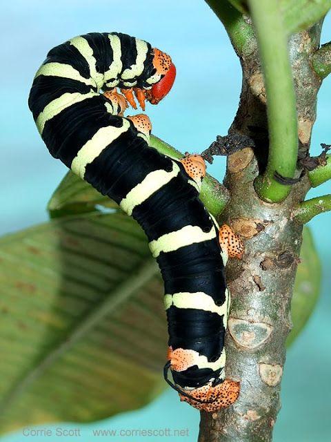 Frangipani Hornworm Giant Gray Sphinx Moth Larva Tetrio Sphinx Moth Caterpillar Moth Caterpillar Sphinx Moth Caterpillar Caterpillar
