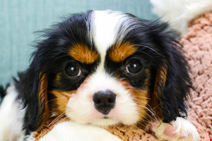 Cavalier King Charles Spaniel Puppies For Sale Akc Small Breed Pups For Sale In Ohio Cavalier King Charles Spaniel P