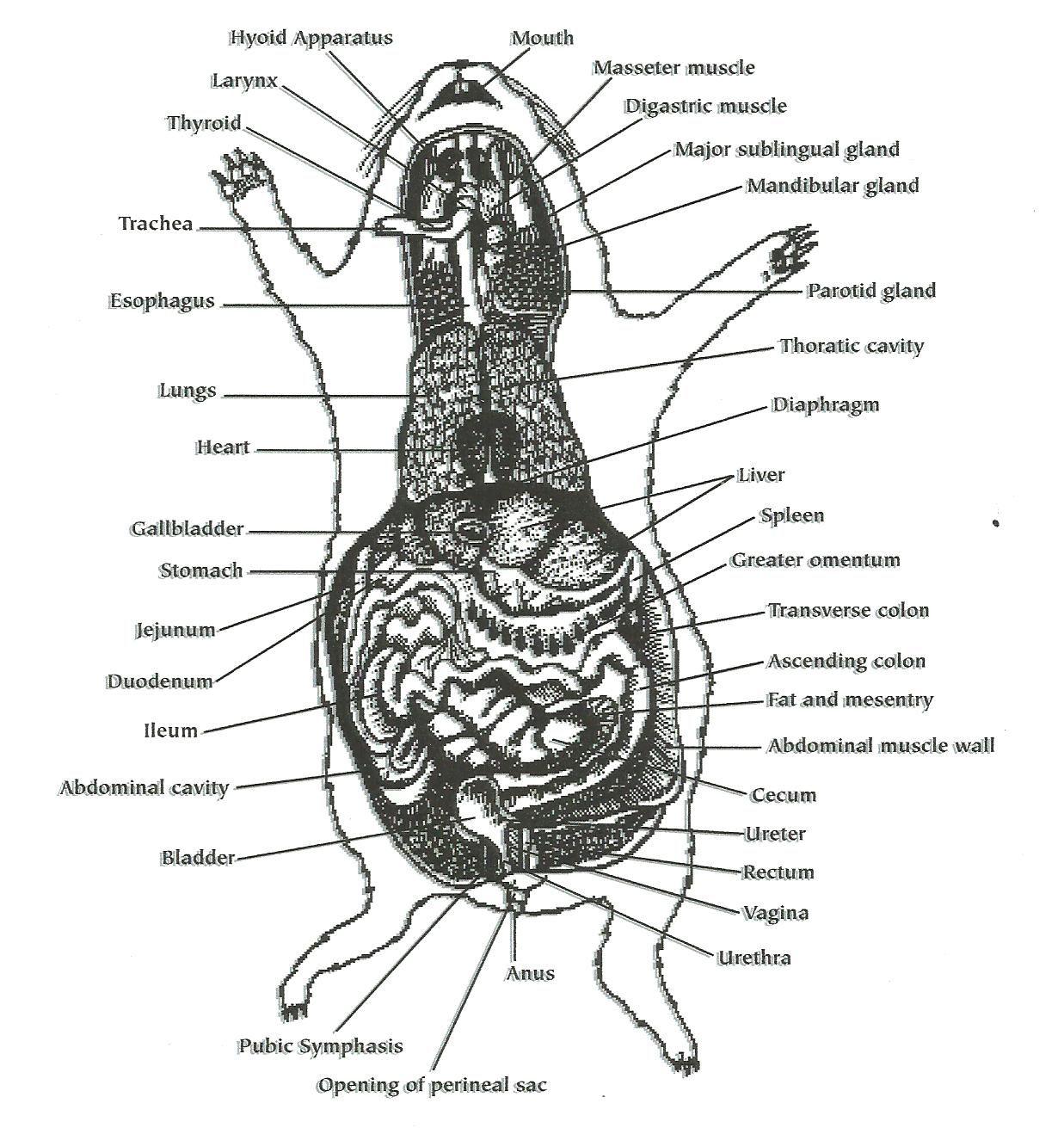 hight resolution of cavy intestines