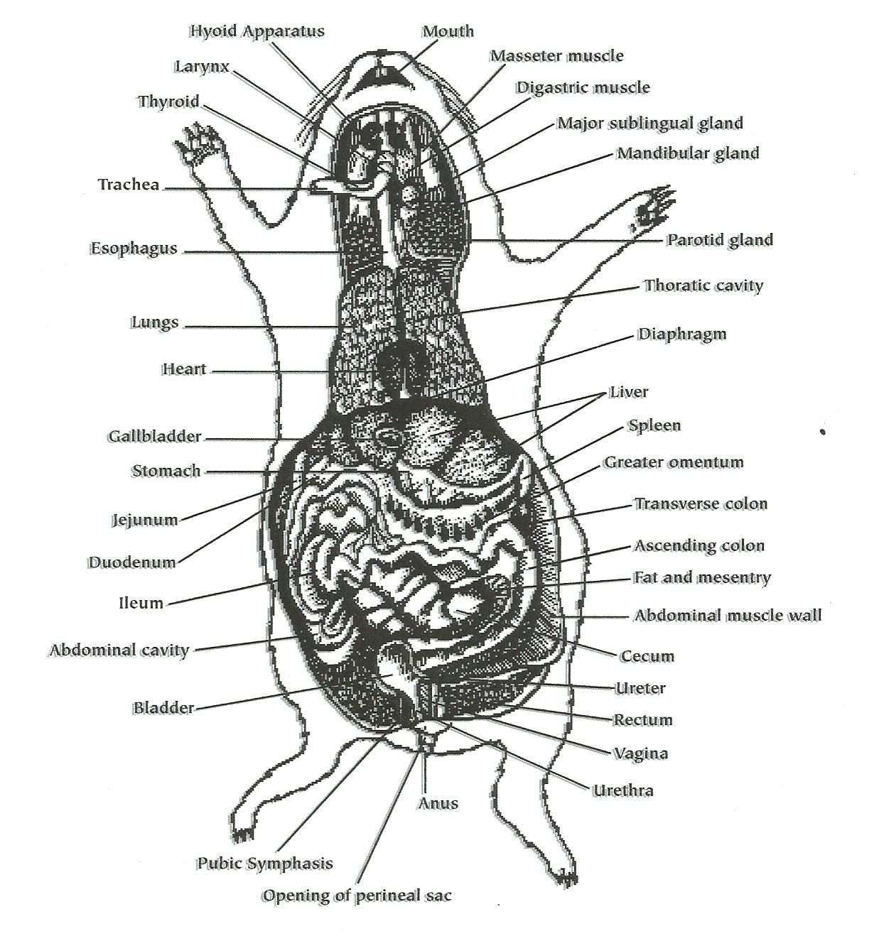cavy intestines | Tennie | Pinterest