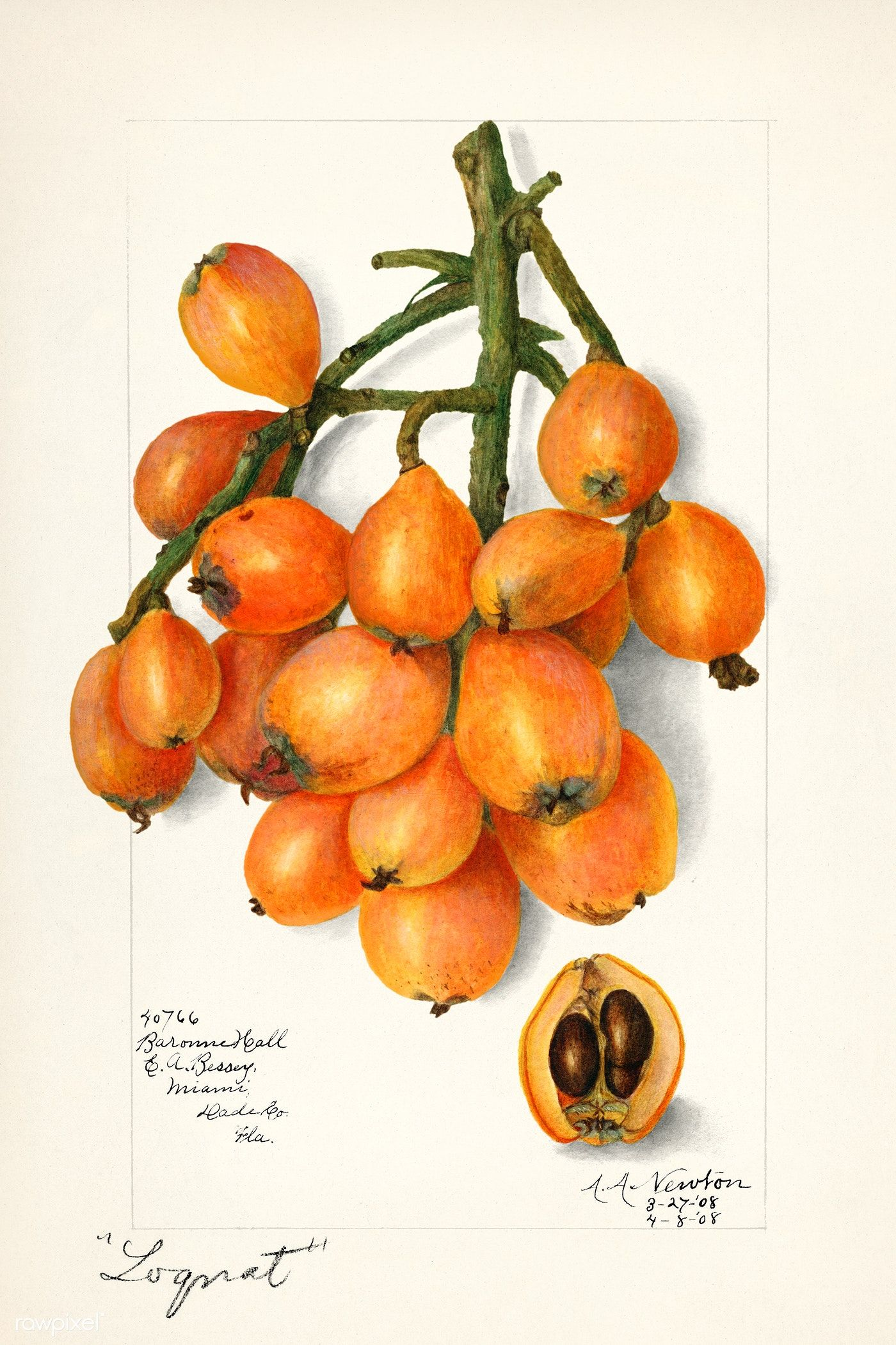 Download free illustration of Loquats (Eriobotrya Japonica) (1908) by