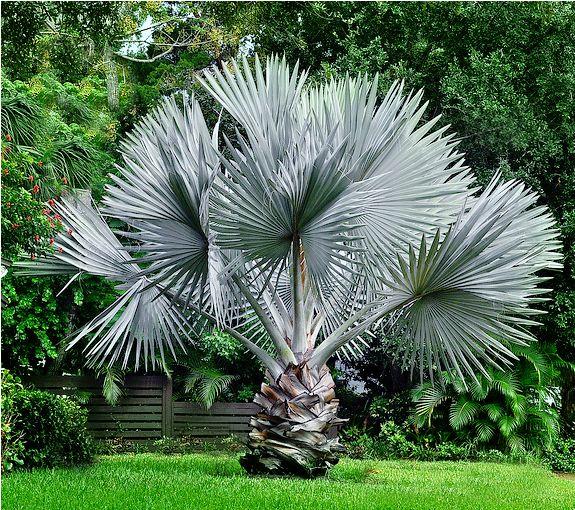 Arecaceae - Wikipedia