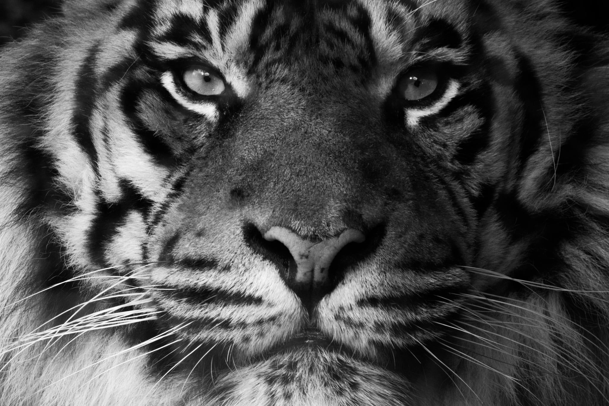 Download White Tiger Wallpapers 1080p For Widescreen Wallpaper Subwallpaper Tiger Wallpaper Pet Tiger Animal Wallpaper