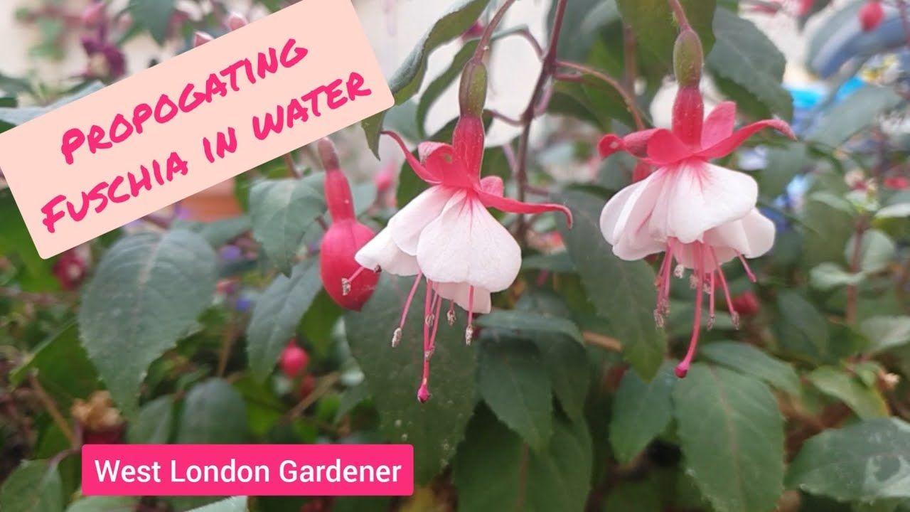 Propagating Fuschia Cuttings In Water How To Grow Free Fuschia Plants With Results Youtube Propagation Plants Fuschia