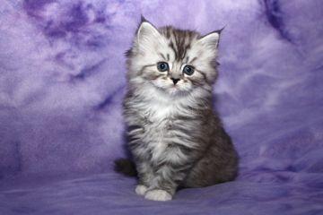 Photos of RagaMuffin kittens Ragamuffin kittens, Kittens