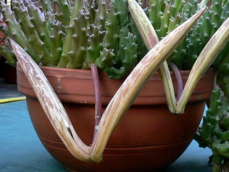 Orbea variegata starfish plant orbea plants carrion for Stapelia variegata