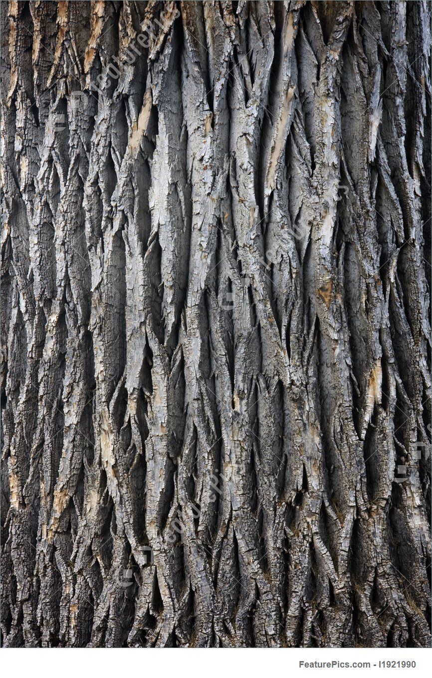 Texture Of A Giant Cottonwood Tree Trunk With Vertical Bark Patterns