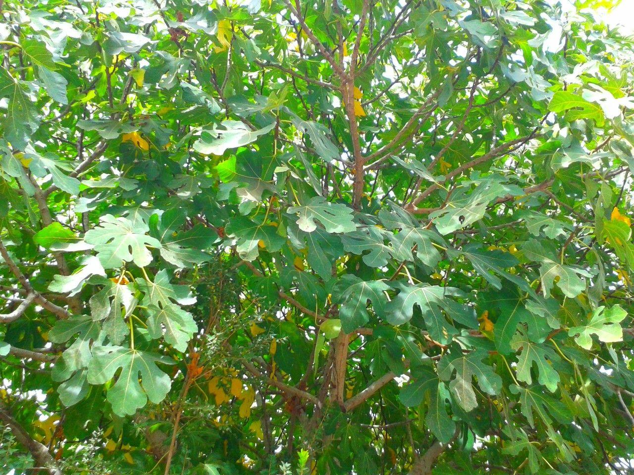Fig tree, Israel | Fig tree, Fig, Grapes