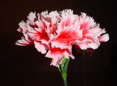 Monaco S National Flower The Carnation Is A Species Of Dianthus And Has Many Symbolism Associated With The Flower Most Popular Flowers Flowers Real Flowers