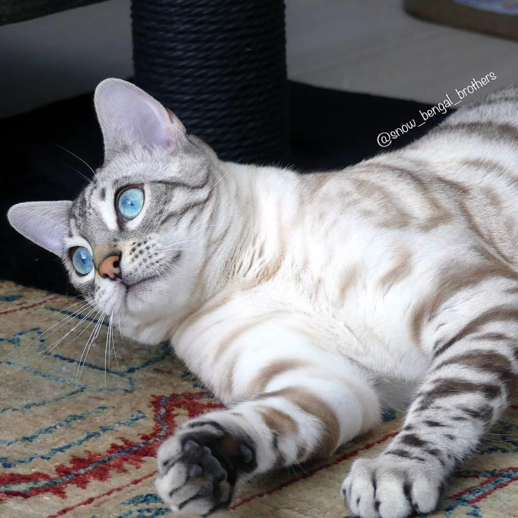 Rascal A Silver Seal Lynx Snow Bengal From The Netherlands