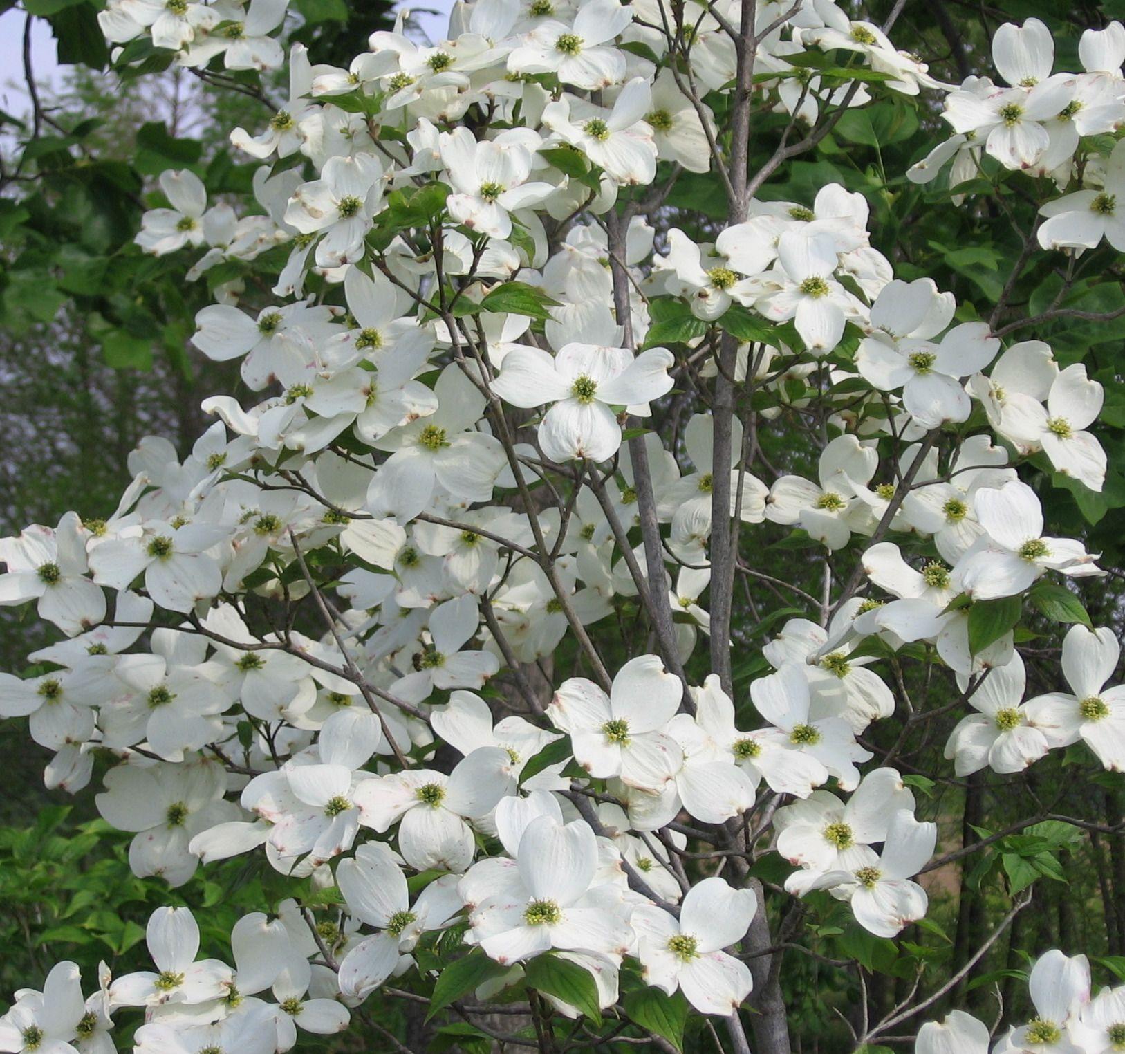 Natural Landscapes Nursery Cornus Florida Appalachian Spring