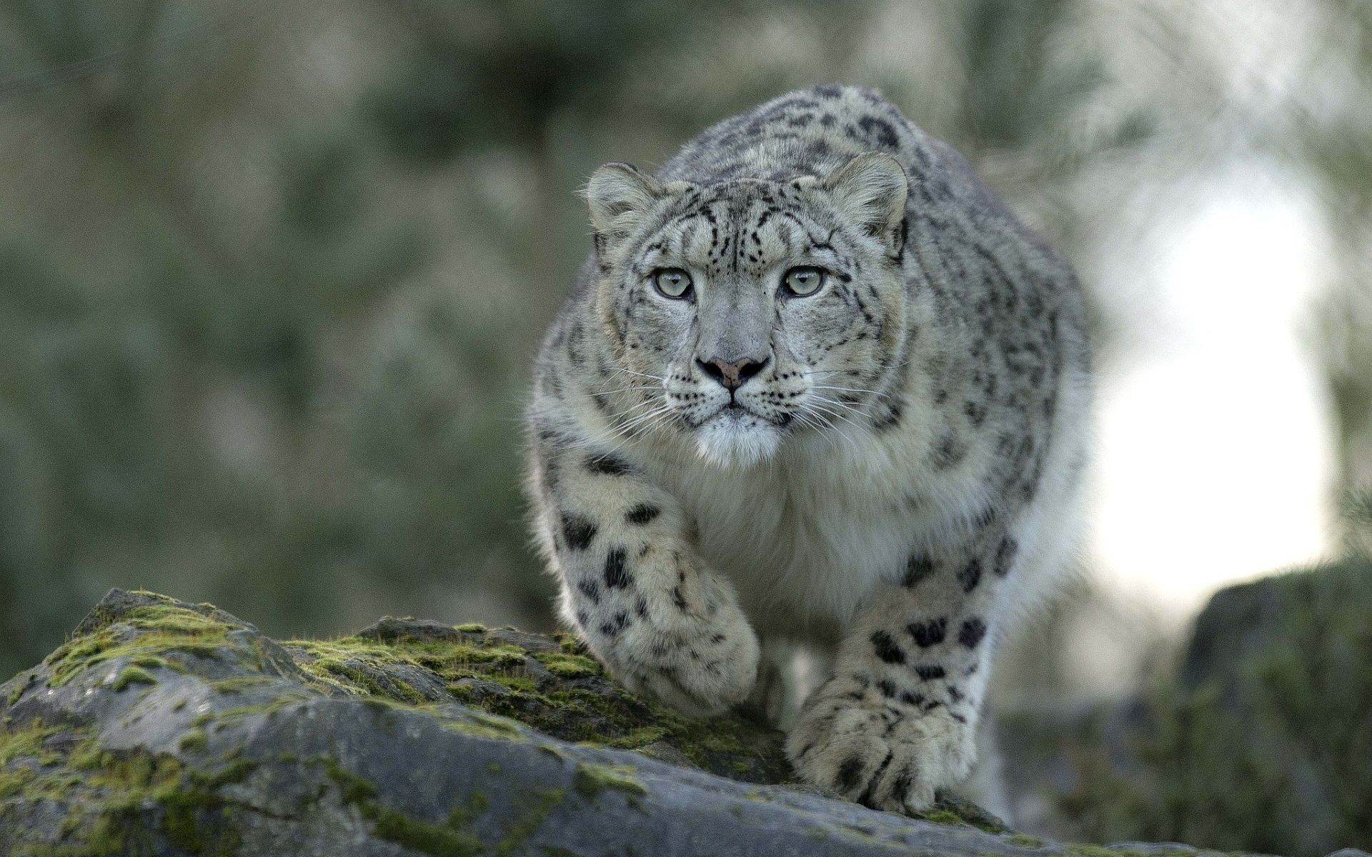 Awesome Snow Leopard Wallpaper 45957 1920x1200 Px