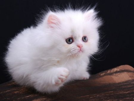 Image result for cute persian kittens Cats, big and