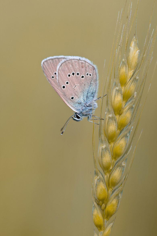 butterfly on spikelet by Dmitriy Vilyunov on 500px ○ Canon EOS 600D-f/4-1/500s-100mm-iso200, 1590✱2385px-rating:92.1 ☀ Photographer: Dmitriy Vilyunov, Смоленск, Россия