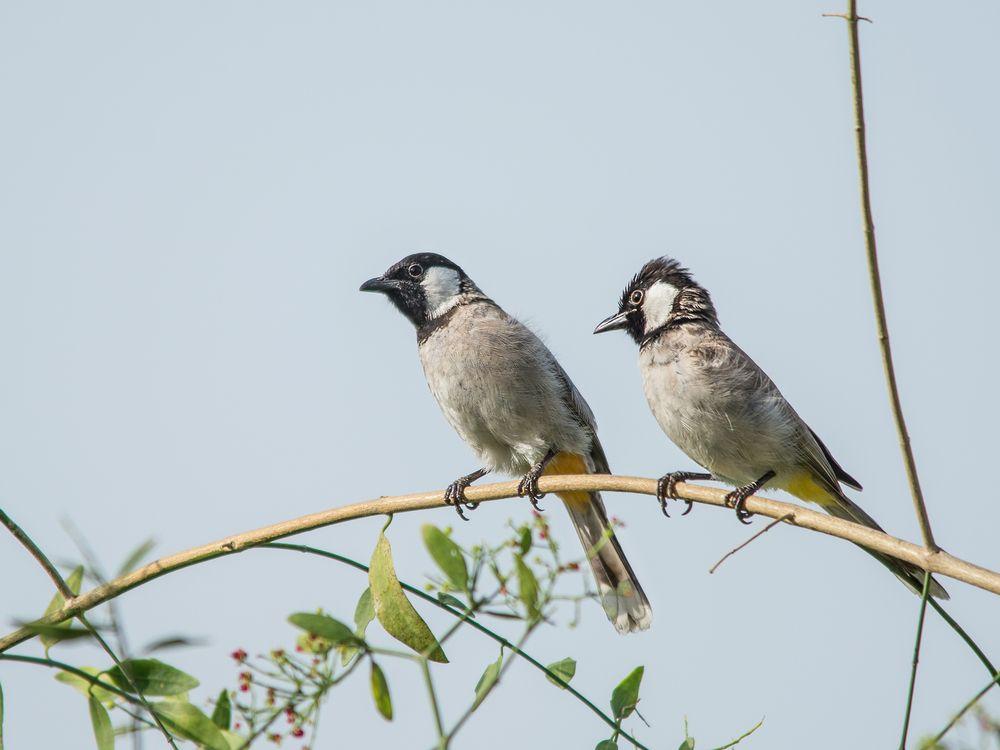 صوت البلبل اجمل انغام الطبيعة قائمة منوعة لتغريده طيور العرب Bulbul Animals