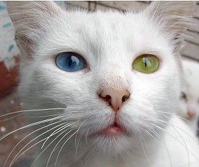 Odd Eyed White Cat Photographed By Rodrigo Arancibia In Iquique Chile She Shows No Sign Of Deafness Her Kittens Are White Cats Russian White Cat Cat Lovers