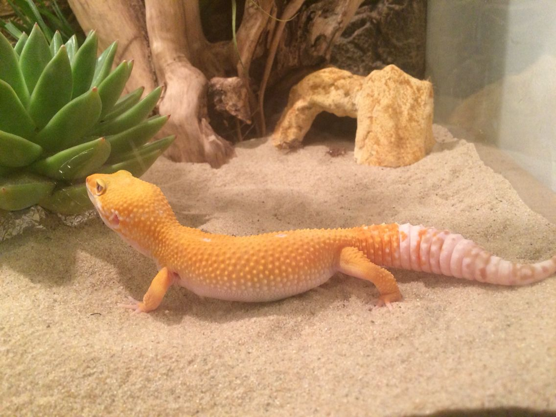 new leopard gecko sunglow leopard gecko pinterest. Black Bedroom Furniture Sets. Home Design Ideas