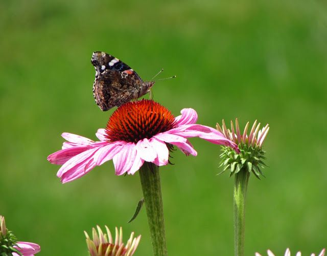 Red admiral butterfly on echinacea