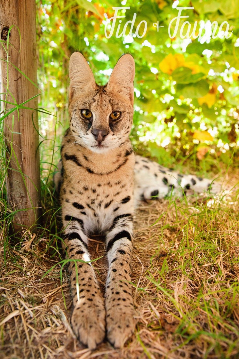 11 Best African Serval Kitten In 2020 African Serval Cat Serval Cats Serval Kitten