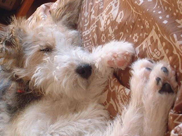 wire fox terrier. sigh.