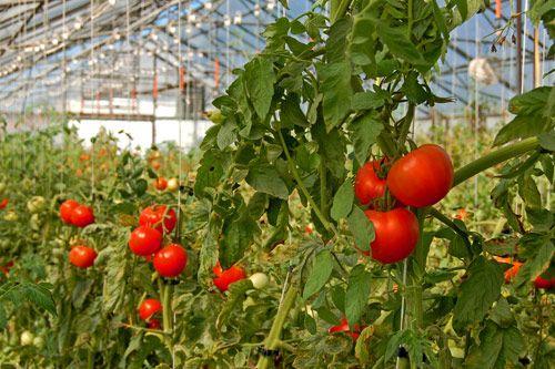 Tomato farm | Vegetables & Farming in 2019 | Tomato plant