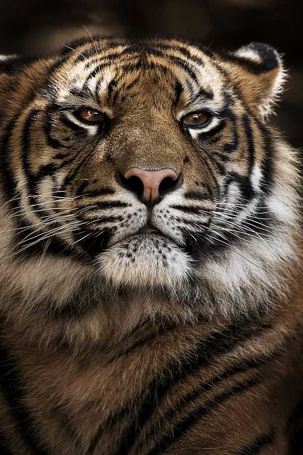 siberian tiger by Adam McGrath