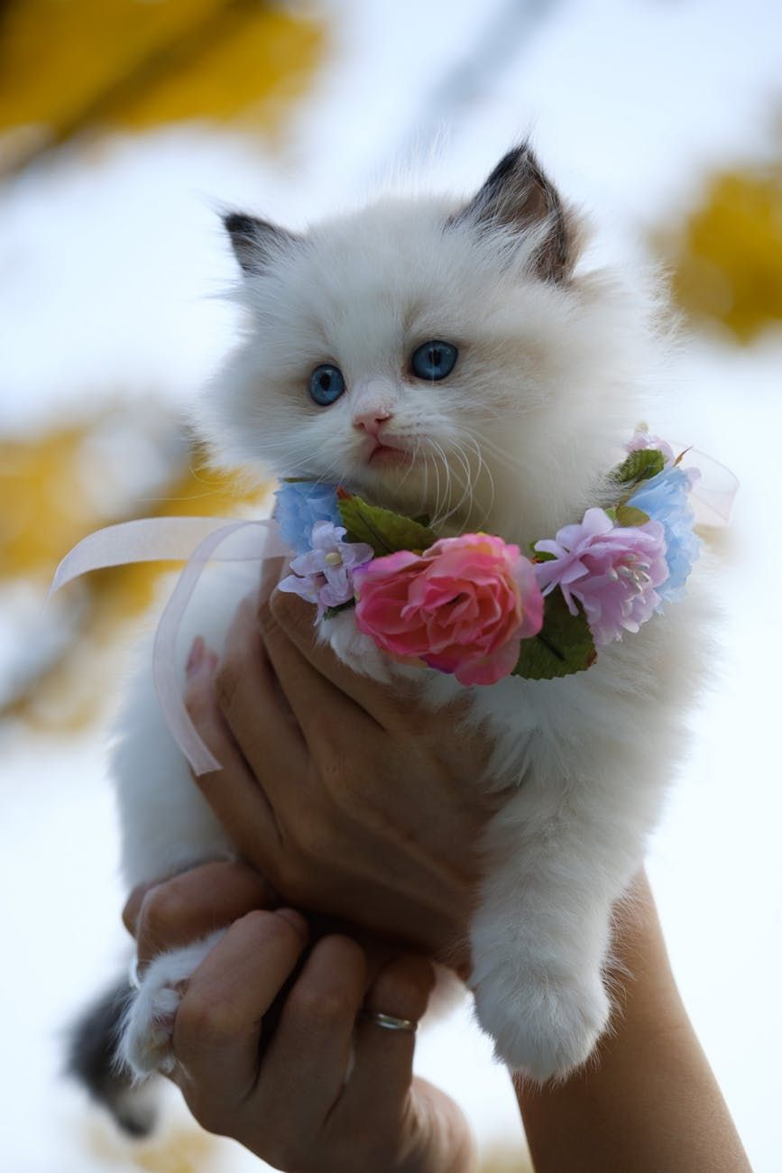 Cute White Kitty With Flower Around Its Neck Cutekitty White White Kittens Cute Cats Cute Cats And Kittens