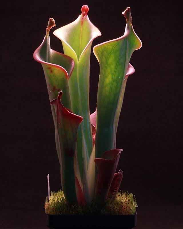 International Carnivorous Plant Society Carnivorous Plants Weird Plants Plants