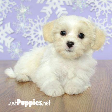 Puppies For Sale Orlando Fl Justpuppies Net Evcil Hayvanlar