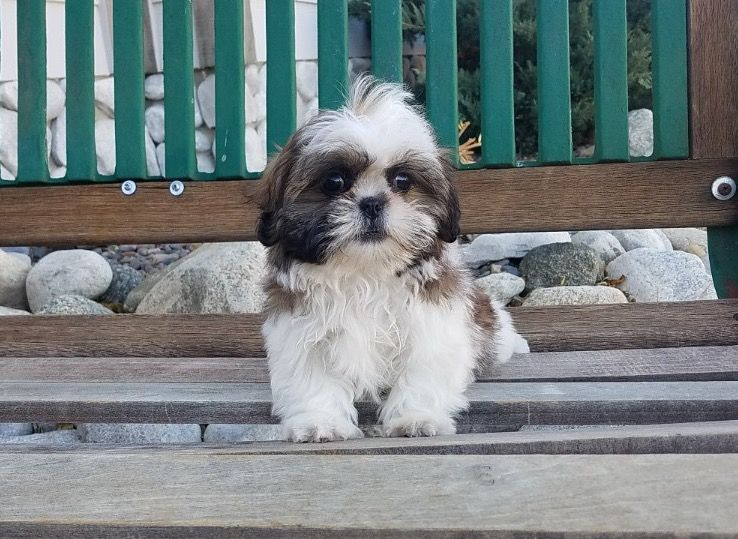 Shih Tzu Puppy For Sale In Los Angeles Ca Adn 57446 On Puppyfinder
