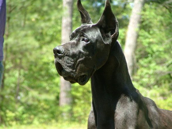 Victory Great Danes Dane Puppies Great Dane Puppy Dog Breeds