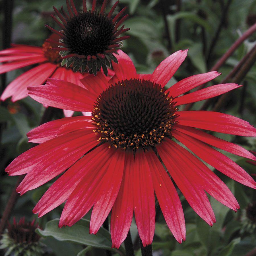 Echinacea Seeds Solar Flare Drought Tolerant Perennial Drought Tolerant Perennials Plants Perennials