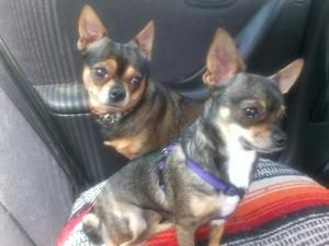 Koko Urgent Is An Adoptable Chihuahua Dog In Seattle Wa If You