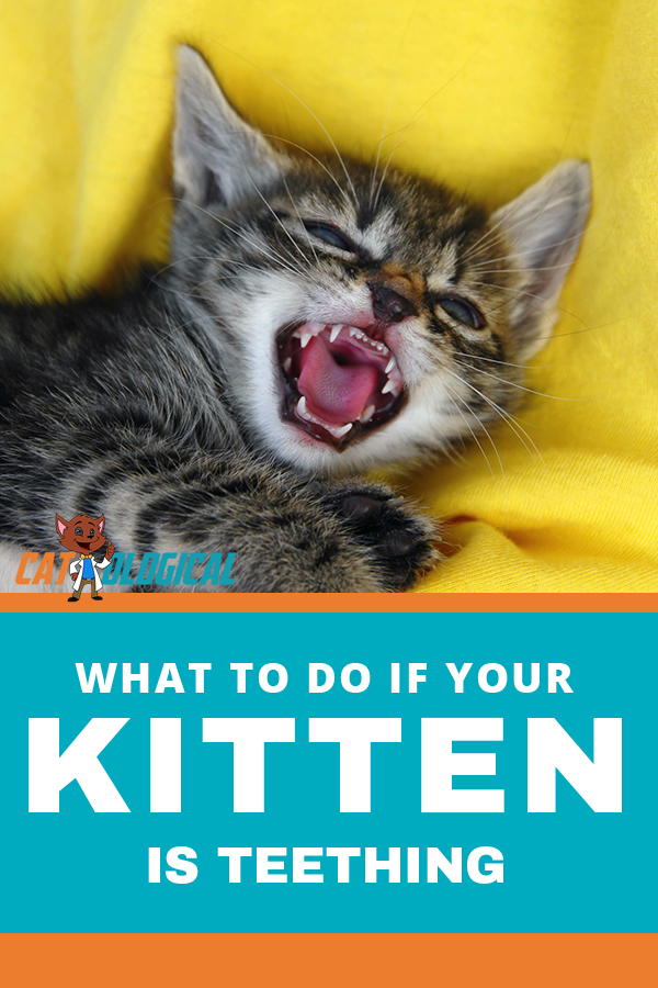 What To Do If Your Kitten Is Teething Cat Training Cat Care Kitten
