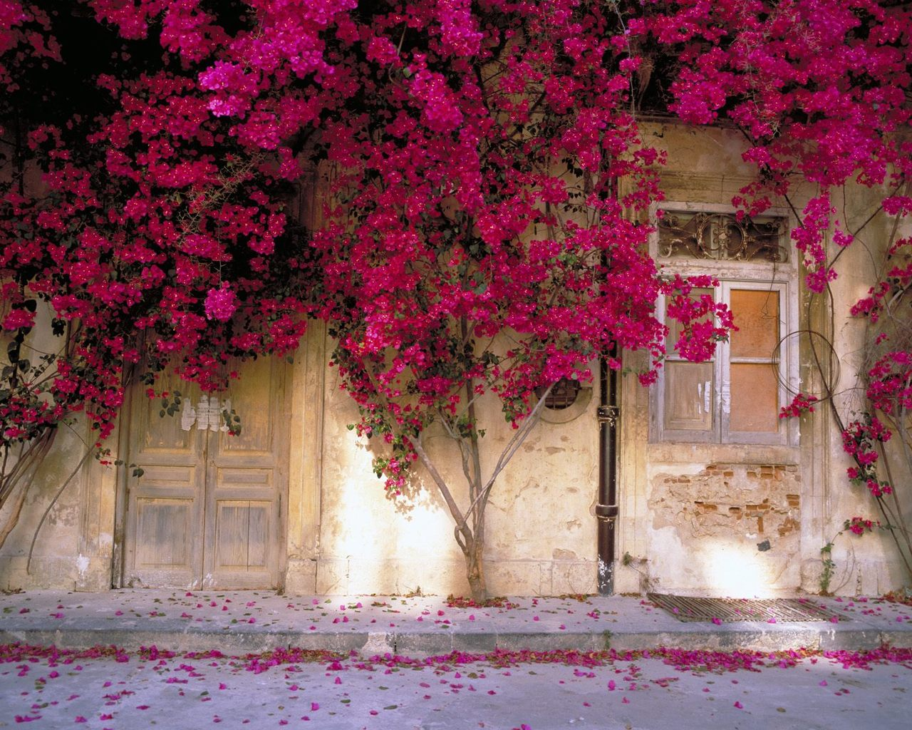 Bougainvillea Wallpaper Tales Of Colors Decor Bougainvillea Beauty Flowers For The
