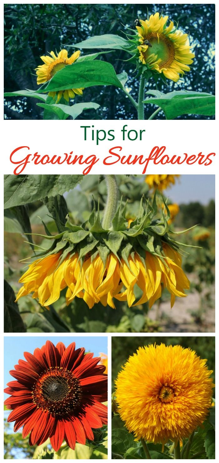 Growing Sunflower Plants Sunflower Care Tips For Big Beautiful Blooms Growing Sunflowers Planting Sunflowers Sunflower Garden