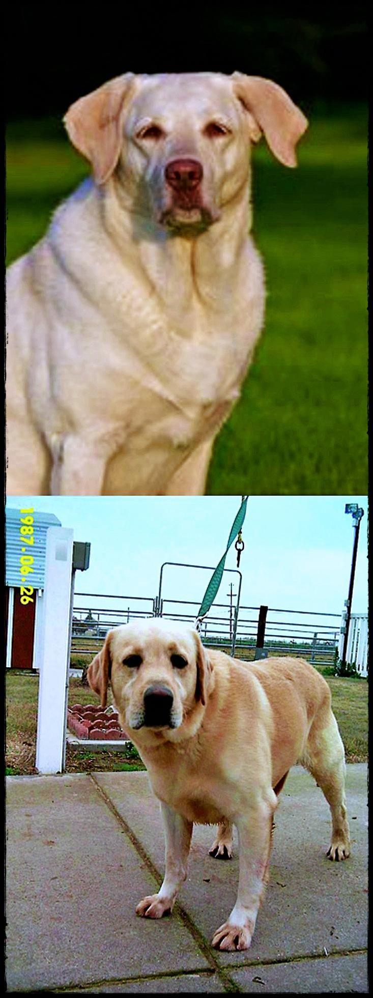 Bugs My Dog Sooo Cute Black Labrador Dogs Labrador Retriever