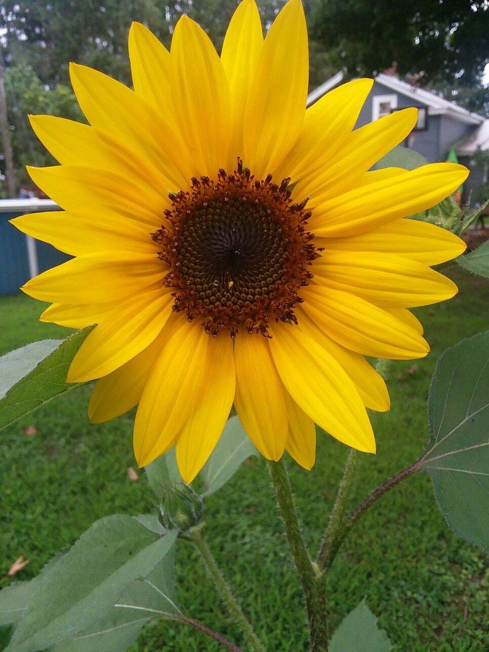 Solar Eclipse Sunflower sunflowers gardening
