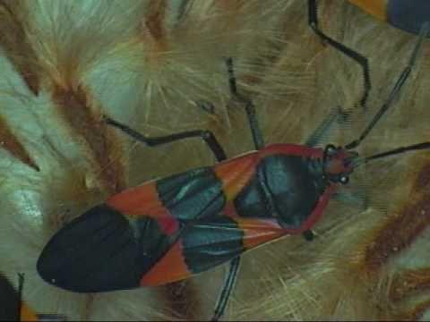 Milkweed bug - Oncopeltus fasciatus - YouTube