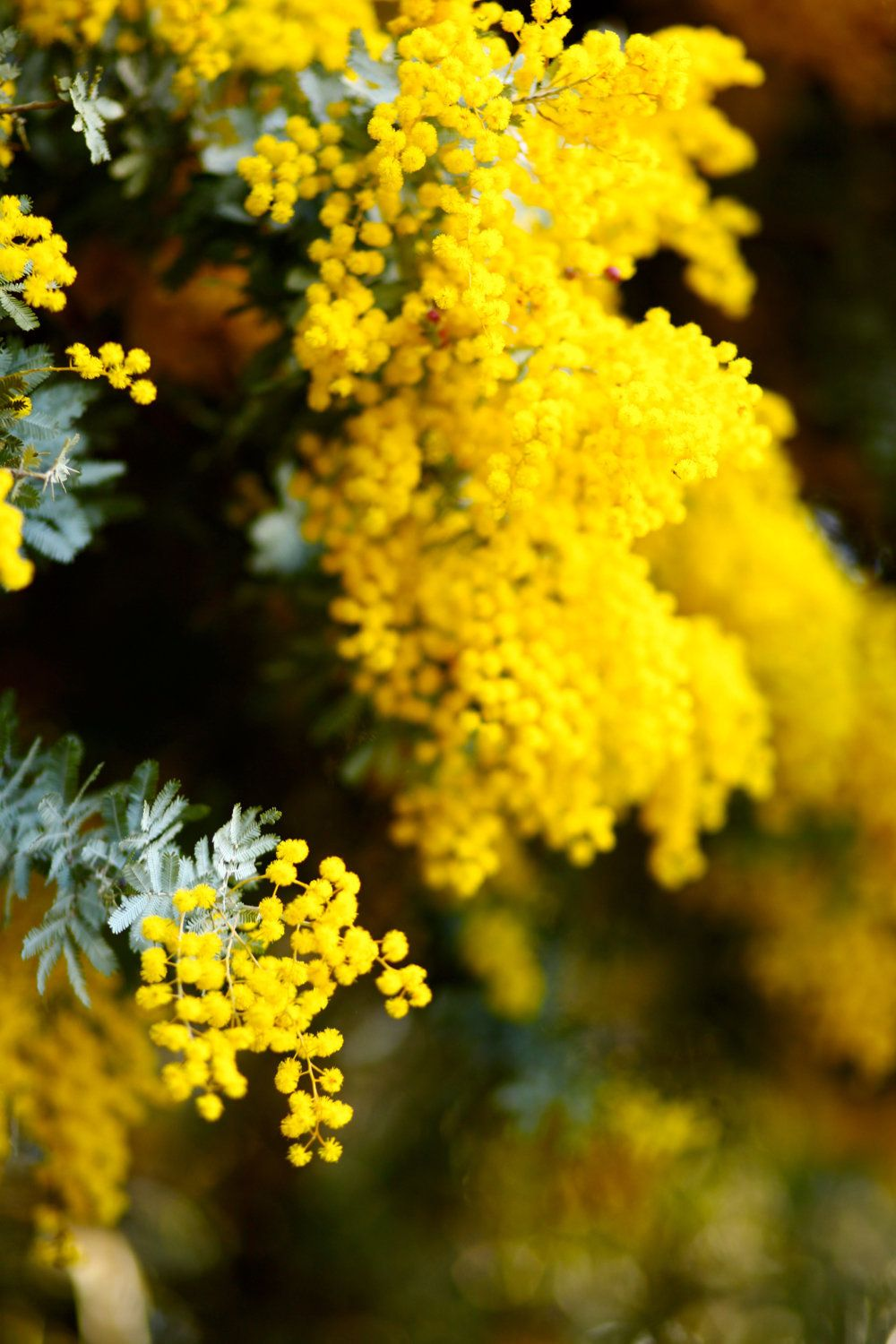Golden Wattle Photography Print Wall ArtLake
