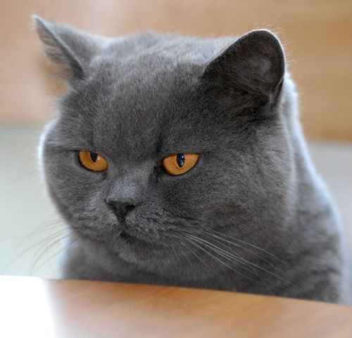 Pin By Biyoke Madavisid On Friends Of The World British Shorthair Cats Cats Chartreux Cat
